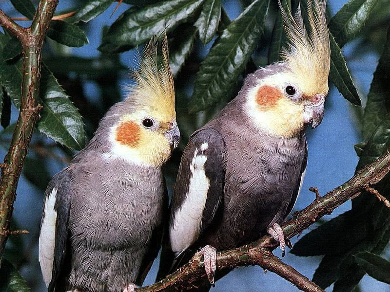 Серые попугаи корелла