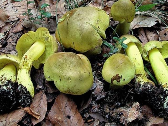 картинки грибы зеленушки