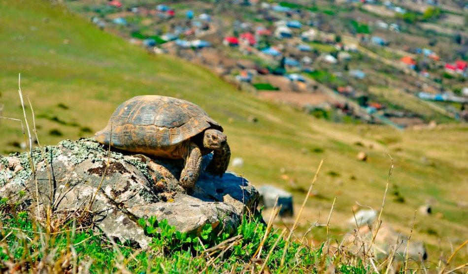Средиземноморская черепаха - большая любительница понежиться на солнышке