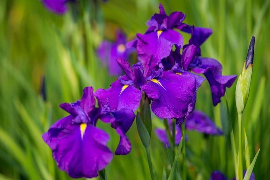 Фиолетовый ирис, пример 2