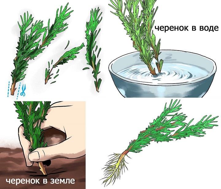 Схема проращивания черенка