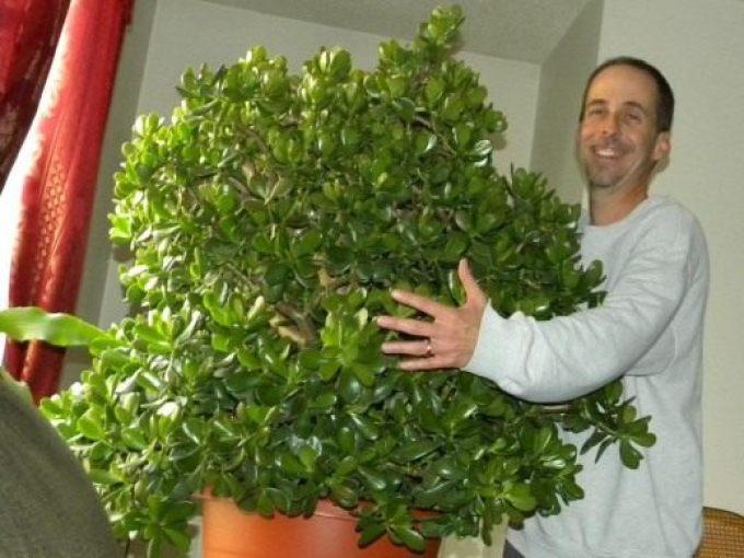 Как сделать так чтобы зацвело денежное дерево 159