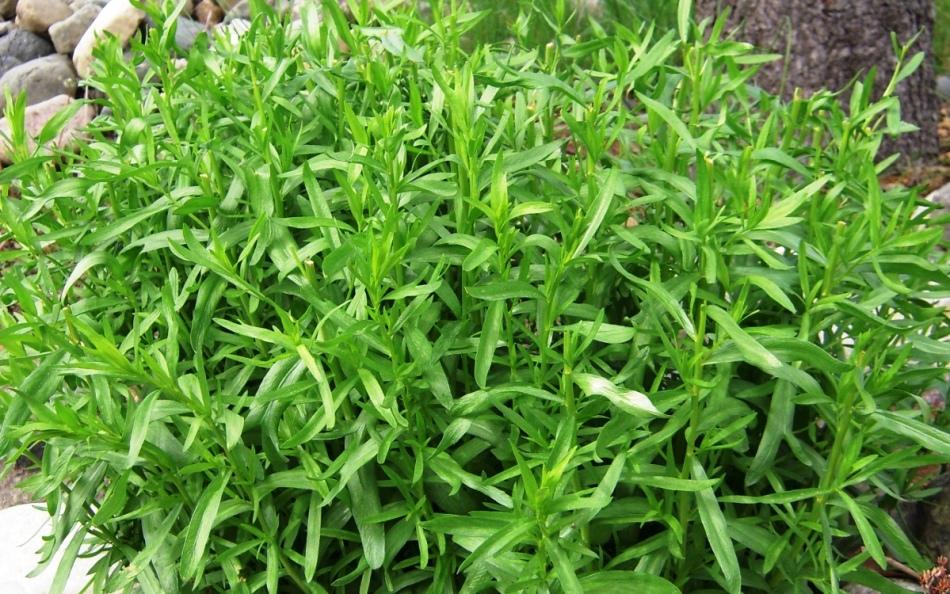 Фото травы тархун в природе