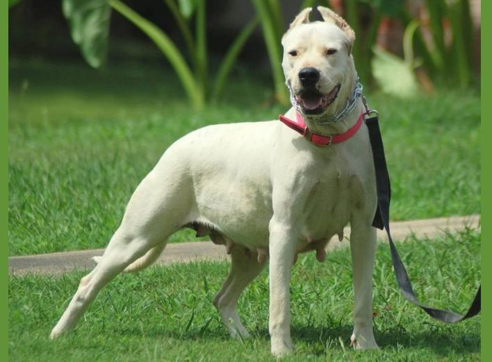 Гуль донг — порода собак с самой «чудовищной» силой укуса