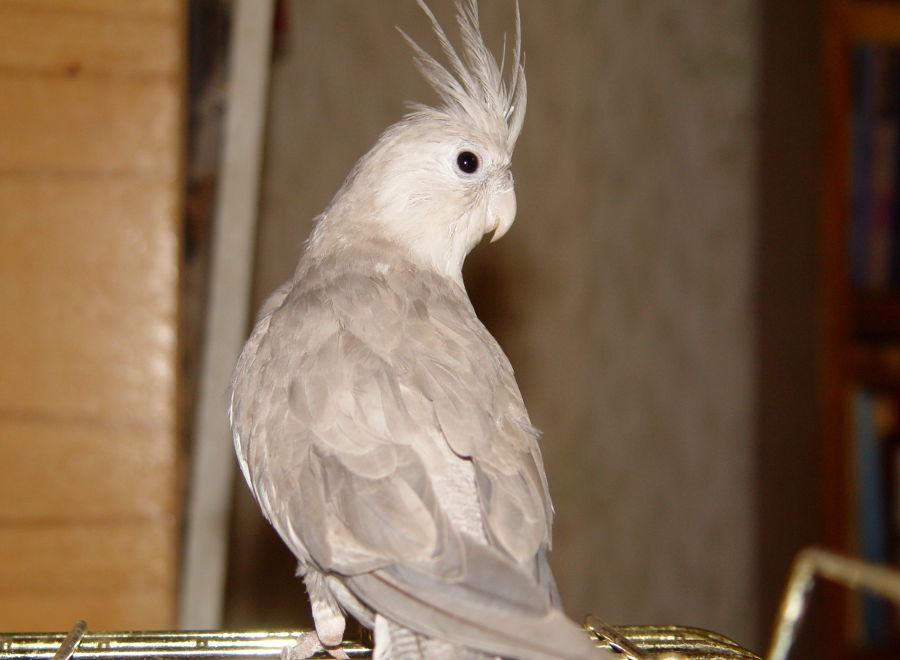 Полностью серый попугай корелла