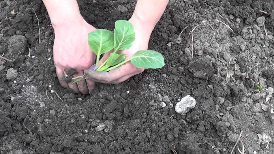 Посадка кольраби в открытый грунт рассадой 45