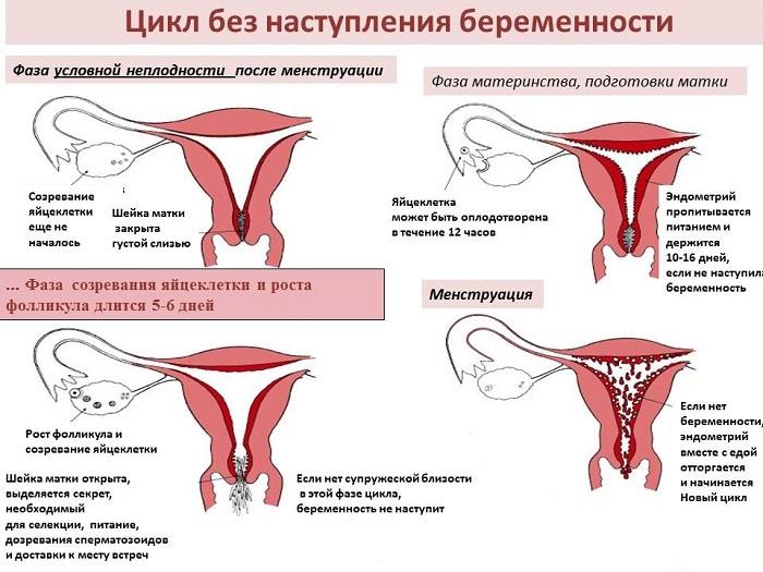 Сколько может прожить сперматозоид