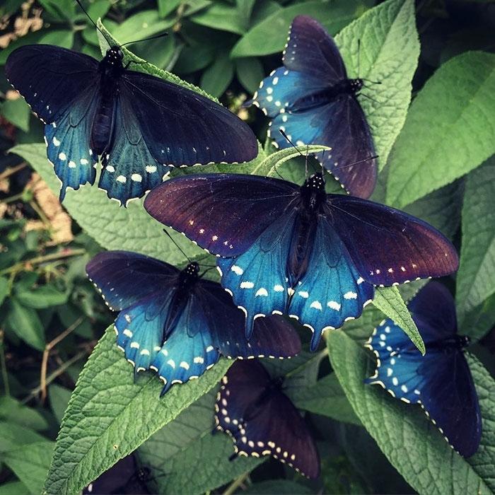 Как выглядит бабочка махаон и его гусеница: фото