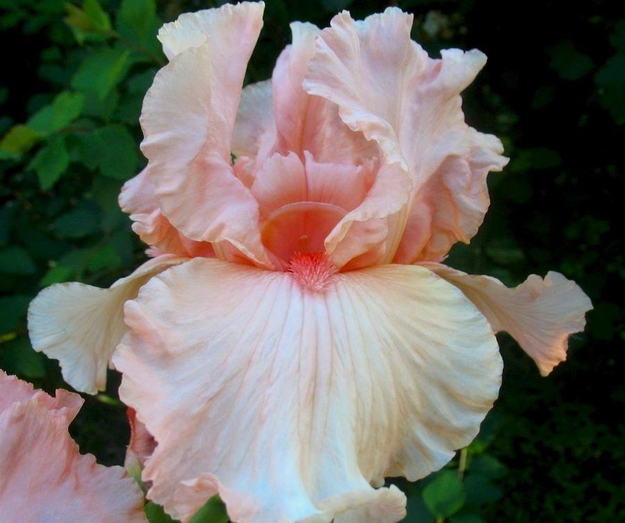 Бело-розовый рис блашинг кисс