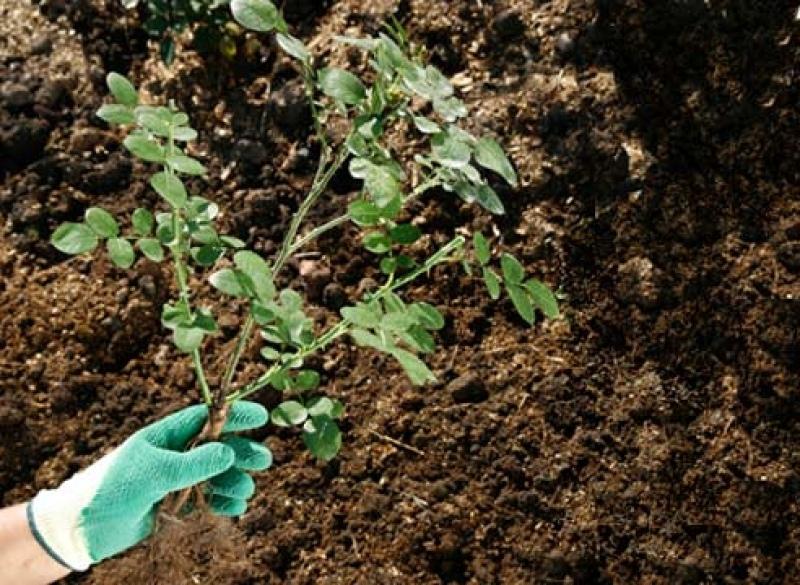 Пересадка роз когда лучше осенью или весной