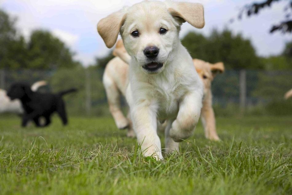 Начать дрессировать щенка лабрадора в домашних условиях