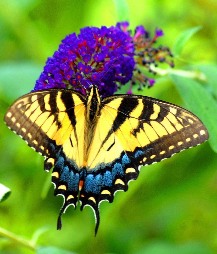 Описание бабочки махаон 30
