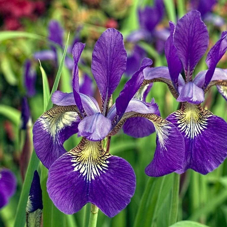 Фиолетовый ирис, пример 1
