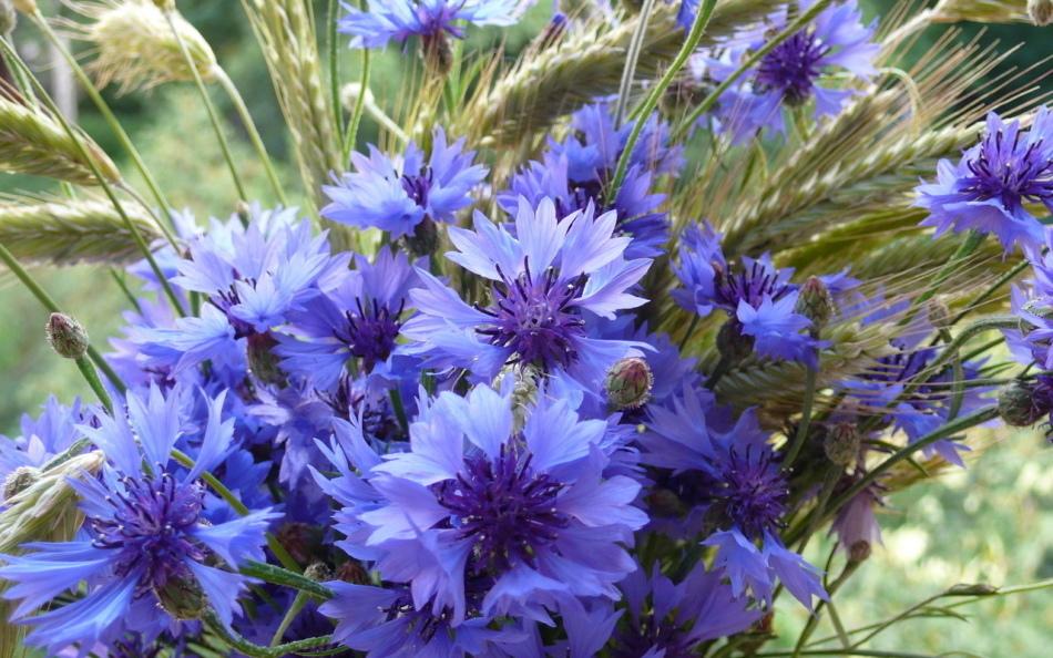 Василек синий. все видели эти цветы, но не все знают о целебных свойствах этого растения