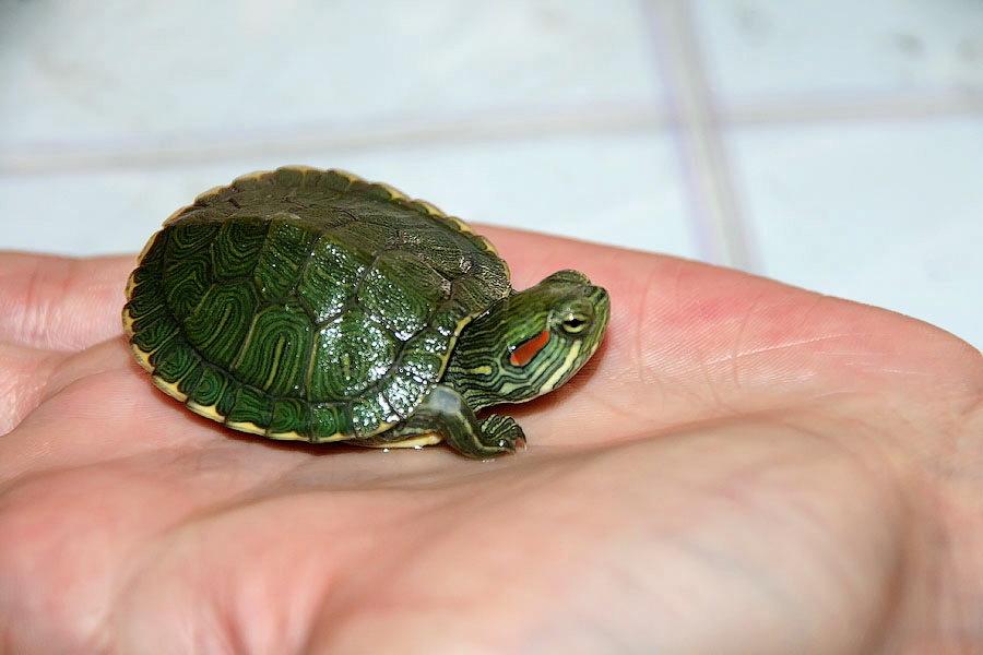 Черепаха - гипоаллергенное домашнее животное