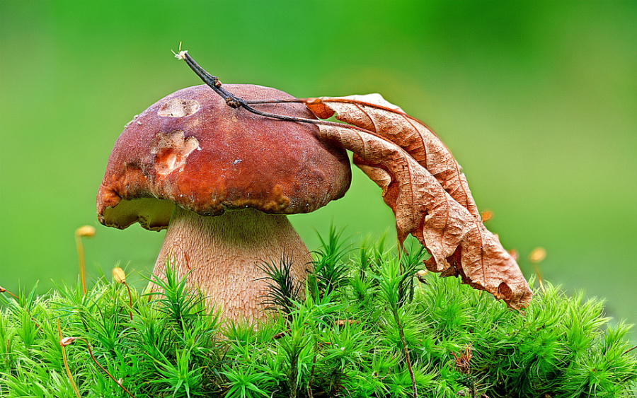 Белый гриб.
