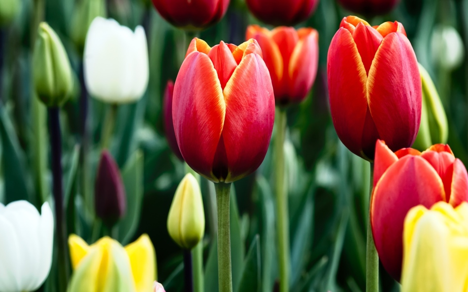 Вид тюльпанов