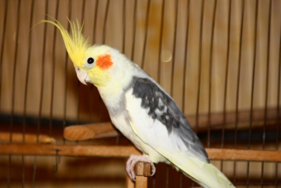 Попугай корелла или нимфа