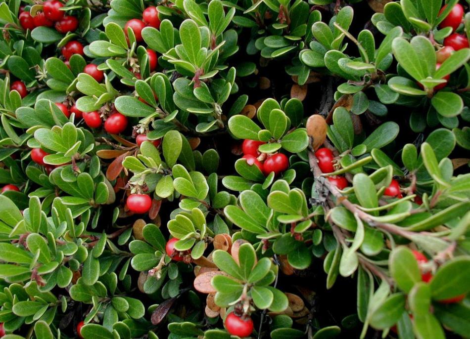 Фото травы межвежьи ушки в природе