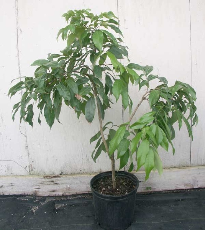 Условия выращивания личи в домашних условиях 891