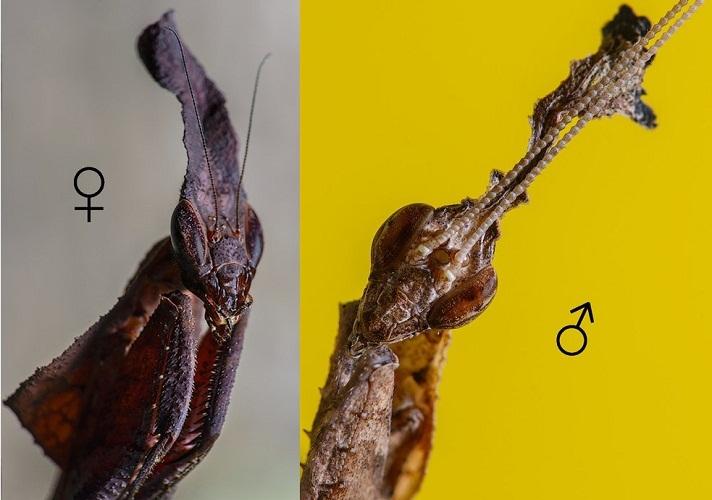 Усики у самца значительно длиннее
