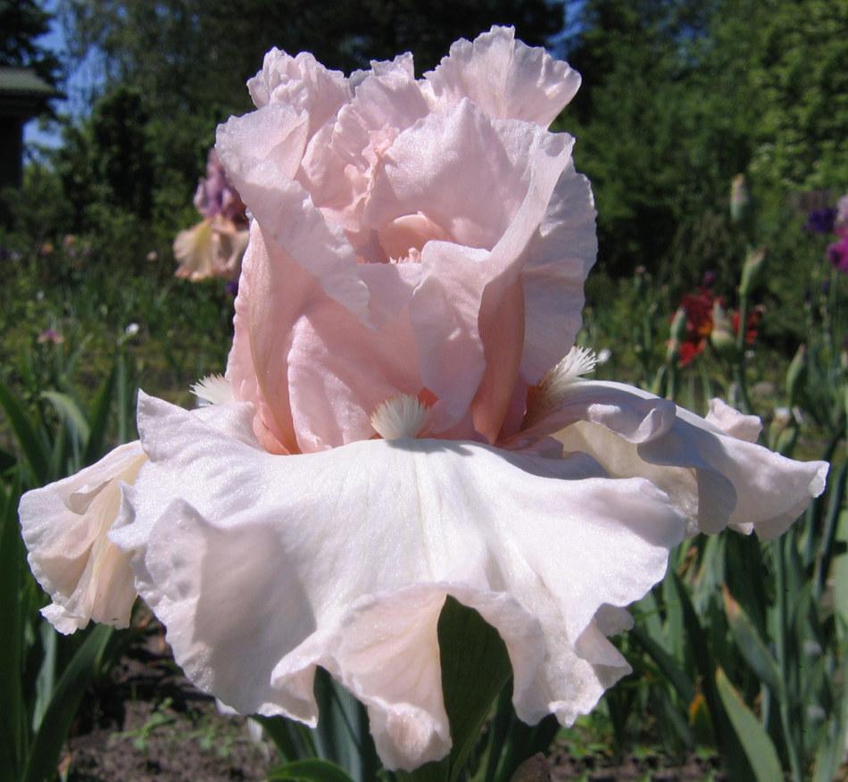 Бело-розовый ирис грезы любви