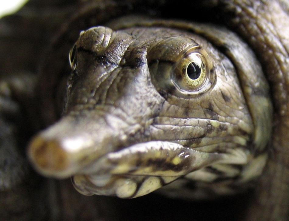 У трионикса китайского достаточно необычная для черепахи мордочка