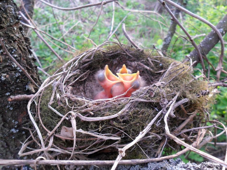 Гнездо и птенцы мандаринки