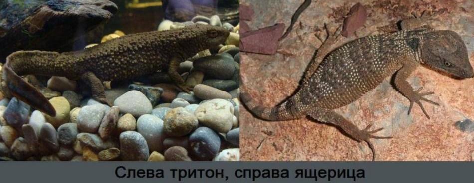Различия тритона и ящерицы