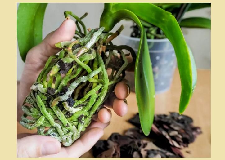 Пересадка орхидея в домашних условиях