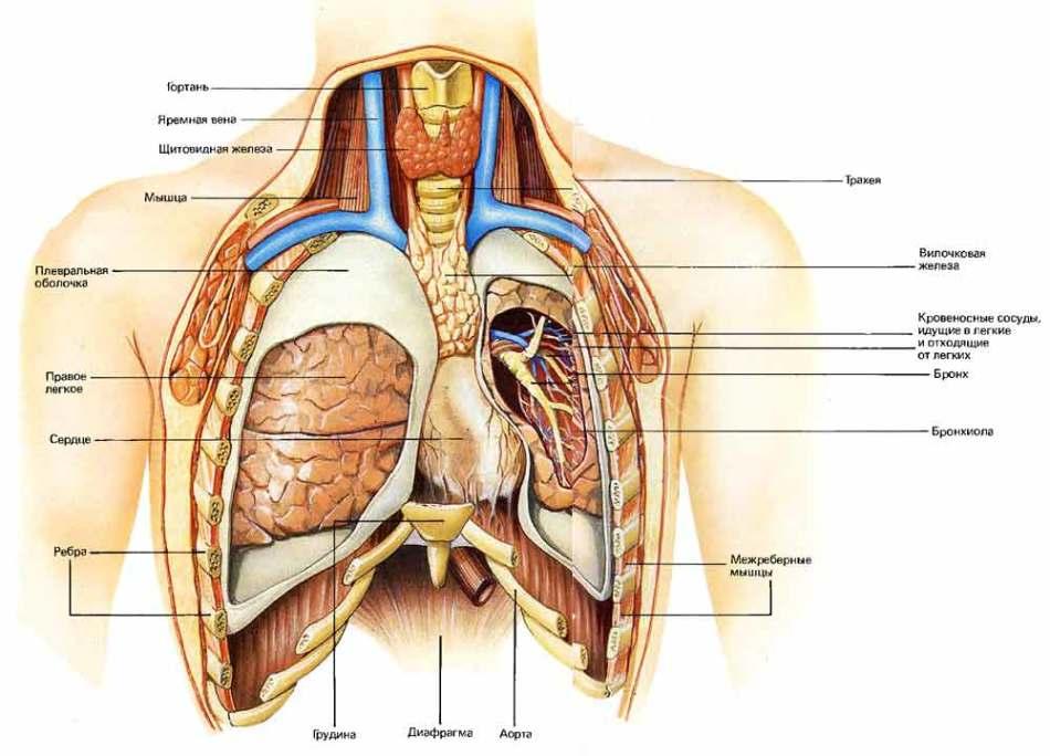 Устройство грудной клетки человека