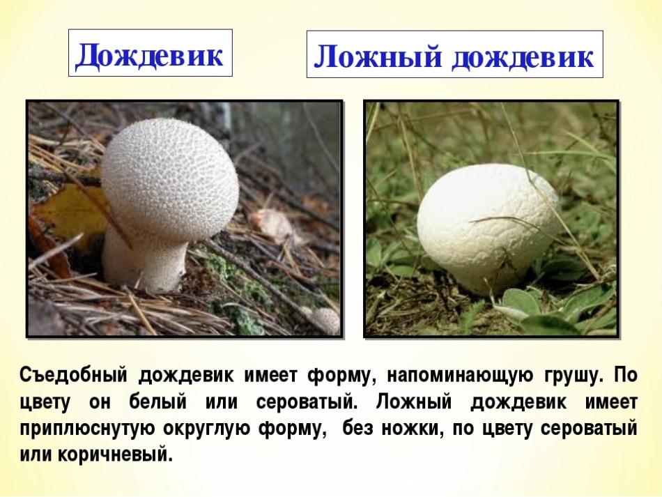 грибы дождевики фото ложные