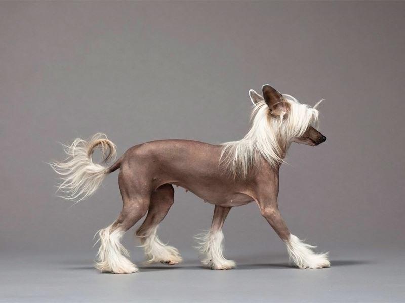Китайская хохлатая - порода собак, не вызывающих аллергию