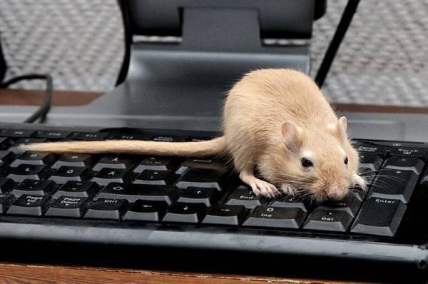 Забежала мышь на работу