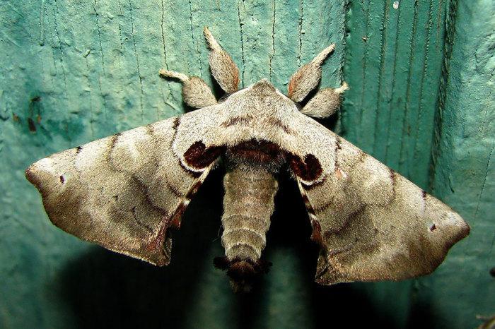 Бабочка пятнистого апателодеса