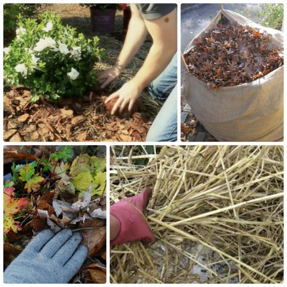Подготовьте хризантемы к зиме