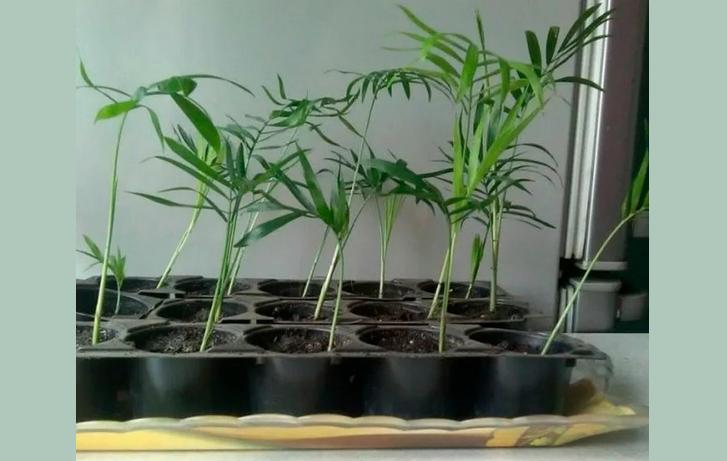 Выращивание цветка хамедорея из семян