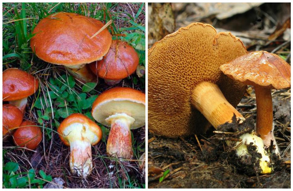 Отличить грибы от ядовитых очень важно