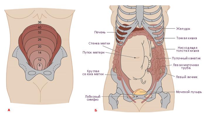 Болит низ живота при беременности на ранних сроках