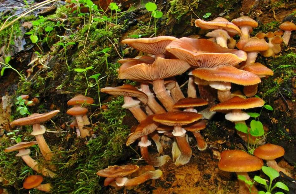 грибы опята осенние фото