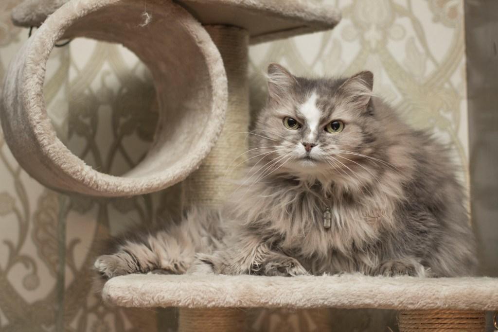 Кот будет обижать кошку