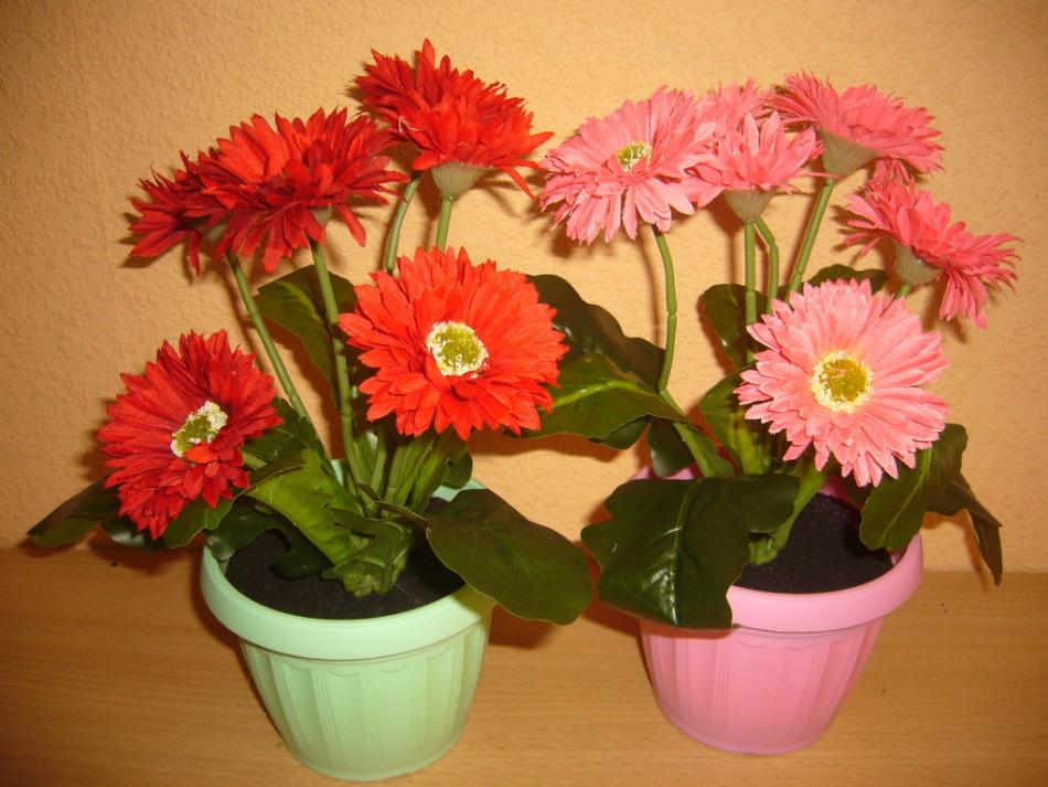 Герберы в домашних условиях цветение