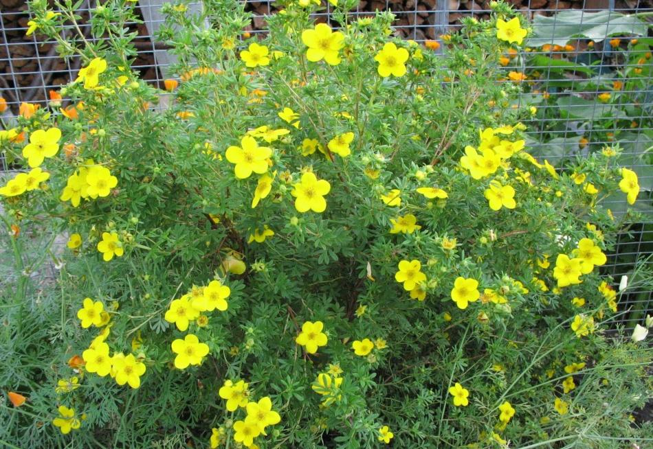 Лапчатка кустарниковая уход и выращивание полезные свойства 14