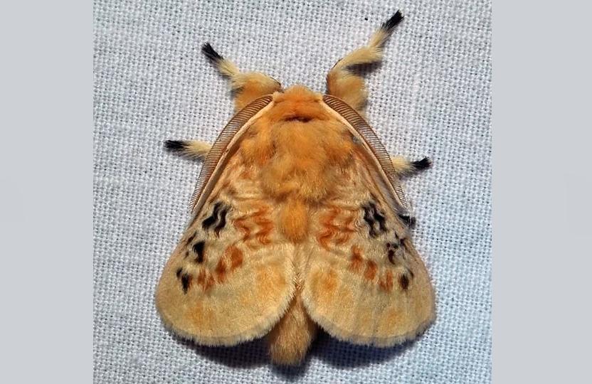 Бабочка пушистой, мохнатой гусеницы