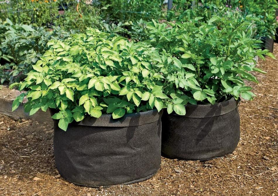 Выращивание картофеля в мешке или бочке