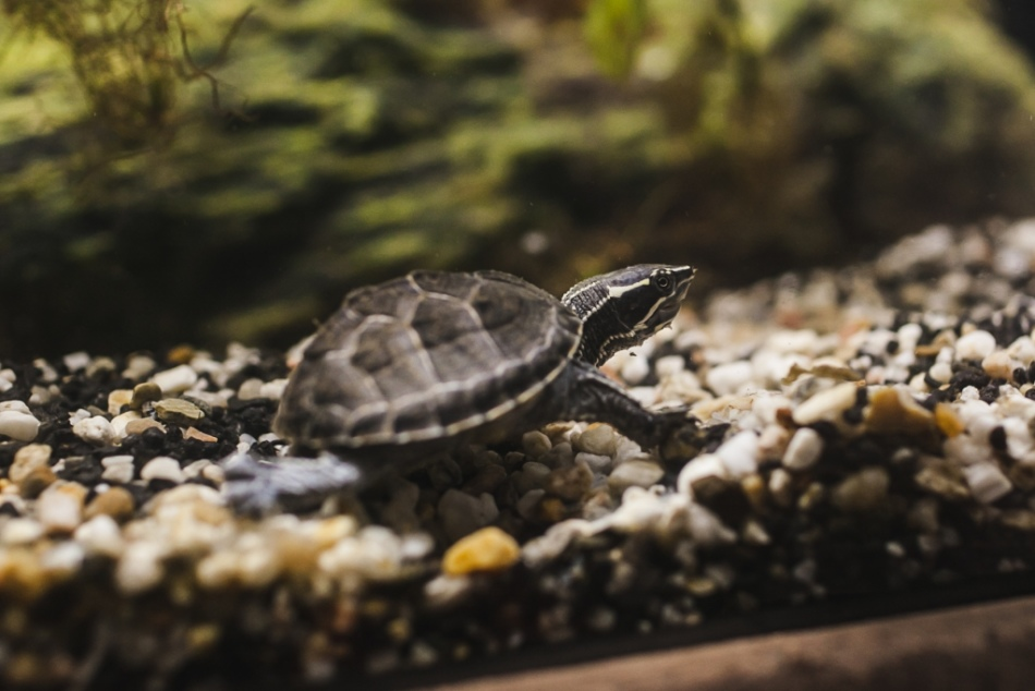 Мускусная черепаха больше всего любит передвигаться по дну