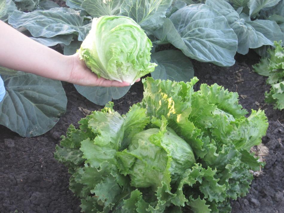 Выращивание салатов и их сорта 297