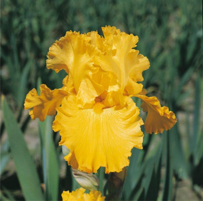 Фото желтого ириса, пример 1