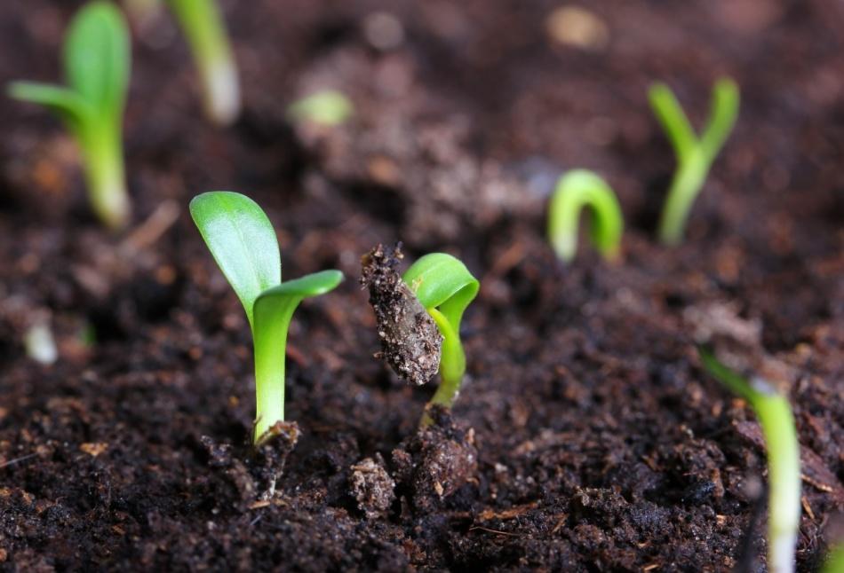 Семена сеют или сажают 952