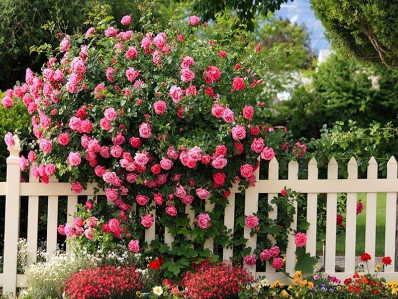 Уход за парковыми розами
